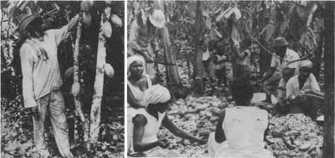 Agricultor frente a un árbol de cacao y familia campesina descascarando las mazorcas